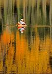 BOULDER MOUNTAIN, UTAH, USA.Fly fisherman in float tube in autumn. Blind Lake. Dixie National Forest.