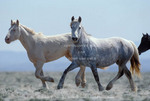 WYOMING. USA. Wild horses. Young stallions at head of Alkali Creek near Cyclone Rim. Near Continental Divide. Red Desert.