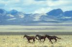 NEVADA. USA. Wild horses in the Ralston Valley. Great Basin.