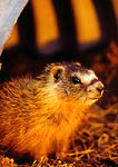 UTAH. USA. Young yellow-bellied marmot living in culvert along abandoned ditch. Suburban wildlife in city of Logan.