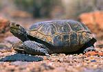 MUDDY MOUNTAINS WILDERNESS, NEVADA. USA. Desert tortoise. Muddy Mountains. Mojave Desert.