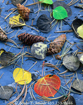 GREAT BASIN NATIONAL PARK, NEVADA. USA. Aspen leaves & spruce needles & cones on metamorphic rock in autumn. Snake Range. Great Basin.