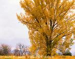 UTAH. USA. Eastern cottonwood in autumn. Cache Valley.