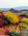 VALLEY OF FIRE STATE PARK, NEVADA. USA.Brittlebrush in bloom onTriassic/Jurassic age Aztec Sandstone.