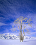 GRAND TETON NATIONAL PARK, WYOMING. USA. Lone cottonwood tree and Teton Range below cirrus clouds in winter. Jackson Hole. Rocky Mountains.