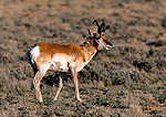 WYOMING. USA. Male American pronghorn. Great Divide Basin. Red Desert.