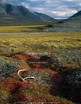 ARCTIC NATIONAL WILDLIFE REFUGE, ALASKA. USA. Caribou antler on tundra colored scarlet by bearberry foliage in autumn. View from the Arctic Coastal Plain up the Itkilyariak Creek drainage to Sunset Pass in the Sadlerochit Mountains. North Slope.