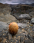 ARROW CANYON WILDERNESS, NEVADA. USA. Barrel cactus on limestone above narrow slot of Arrow Canyon. Mojave Desert.