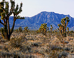 NEVADA. USA. Joshua trees and other desert vegetation below Moapa Peak. Slope below Mormon Mountains. Mojave Desert.