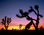 NEVADA. USA. Joshua trees at dusk on foothills of Mormon Mountains. Mormon Moutains BLM Wilderness Study Area. Mojave Desert.