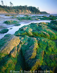 OLYMPIC NATIONAL PARK, UTAH. USA. Seaweed on rocks, low tide near Cape Alava. Pacific Coast.