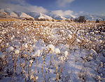 UTAH. USA. Fresh snow on dried flower stalks in early winter. Foothills of Bear River Range above Cache Valley.