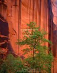 UTAH. USA. Box elder tree and vertical sandstone walls stained by desert varnish. Buckskin Gulch near it confluence with Paria River Canyon.