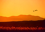BOSQUE DEL APACHE NATIONAL WILDLIFE REFUGE, NEW MEXICO. USA. Sandhill cranes flying at sunset. Rio Grande Valley.