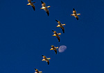 BOSQUE DEL APACHE NATIONAL WILDLIFE REFUGE, NEW MEXICO. USA. Snow geese in flight and moon. Rio Grande Valley.