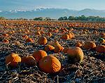 Pumpkins in frosty field. Cache Valley. Great Basin. Bear River Range in distance.