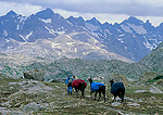 WYOMING. USA. Woman leads pack llamas across alpine tundra at Lester Pass in the rain. Highest peaks of the Wind River Range in the distance. Bridger Wilderness. Bridger-Teton National Forest. Along Continental Divide Trail.