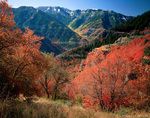UTAH. USA. Maples in autumn above Logan Canyon. Logan Peak in distance. Bear River Range. Wasatch Mountains. Uinta-Wasatch-Cache National Forest.