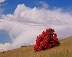 IDAHO. USA. Lone bigtooth (canyon) maple with scarlet foliage below cumulus cloud in autumn.  Foothills of Bear River Range.