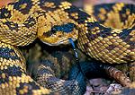 Blacktail rattlesnake coiled. Blue Range Primitive Area. Apache National Forest.
