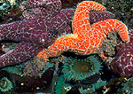 OLYMPIC NATIONAL PARK, WASHINGTON. USA. Sea stars & anemones in tidepool.