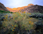 UTAH. USA. Rabbitbrush on floodplain of Green River in Desolation Canyon. Proposed Book Cliffs-Desolation BLM Wilderness.