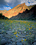 DESOLATION CANYON, UTAH. USA. Sunflowers on gravel bar below canyon wall. Along Green River. Proposed Book Cliffs-Desolation Canyon BLM Wilderness.