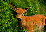 OLYMPIC NATIONAL PARK, WASHINGTON. USA. Young white-tailed deer (Odocoileus virginianus)in forest near beach.