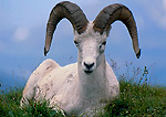 DENALI NATIONAL PARK & PRESERVE, ALASKA. USA. Dall sheep ram (Ovis dalli).