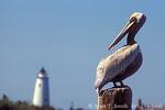 CAPE HATTERAS NATIONAL SEASHORE, NORTH CAROLINA. USA. Brown pelican (Pelecanus occidentalis) & Ocracoke Island lighthouse. Ocracoke Island. Outer Banks
