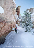 BRYCE CANYON NATIONAL PARK, UTAH. USA. Backcountry skier & bristlecone pine in Fairyland Canyon.