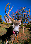 CAPITOL REEF NATIONAL PARK, UTAH. USA. Mule deer buck (Odocoileus hemionus) in orchard.