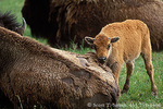 YELLOWSTONE NATIONAL PARK, WYOMING. USA. Bison calf & mother (Bison bison). Madison River Valley.