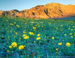 DEATH VALLEY NATIONAL PARK, CALIFORNIA. USA. Desert gold (Geraea canescens) & sand verbena (Abronia villosa) in bloom below Black Mountains at sunset.