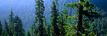 MOUNT RANIER NATIONAL PARK, WASHINGTON. USA. Old-growth forest above Chinook Creek.
