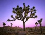 JOSHUA TREE NATIONAL PARK, CALIFORNIA. USA. Joshua tree (Yucca brevifolia) at dusk. Mojave Desert.