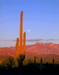 ORGAN PIPE CACTUS NATIONAL MONUMENT, ARIZONA. USA. Moonrise over saguaro cactus (Carnegiea gigantea) & Ajo Mountains. Sonoran Desert.