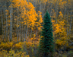 RAGGEDS WILDERNESS, COLORADO. USA. Colorado blue spruce (Picea pungens) & aspen (Populus tremuloides) in autumn. Gunnison National Forest.