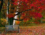 VERMONT. USA. Bench under maple tree in autumn. Twin Ponds Farm, West River Valley.
