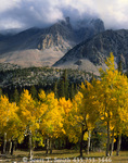 GREAT BASIN NATIONAL PARK, NEVADA. USA. Aspen trees in autumn below Jeff Davis Peak. Snake Range.