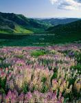JARBIDGE WILDERNESS, NEVADA. USA. Spur lupine (Lupinus arbustus) above Marys River Basin. Jarbidge Mountains. Humboldt-Toiyabe National Forest.