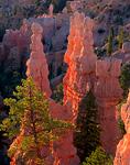 BRYCE CANYON NATIONAL PARK, UTAH. USA. Pinnacles & ponderosa pines a sunrise. Fairyland Canyon.