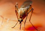 Mosquito biting human.