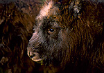 ALASKA. USA. Muskox calf. Muskox farm in Matanuska Valley.