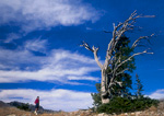 Hiker and wind-blasted Engelmann spruce tree on ridge in Bear River Range. Wasatch-Cache National Forest.