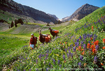 MOUNT TIMPANOGOS WILDERNESS, UTAH. USA. Llama packer & wildflowers in Timpanogos Basin. Uinta National Forest. Wasatch Mountains.