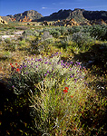 "MUDDY MOUNTAINS WILDERNESS, NEVADA. USA. Purple sage & paintbrush in bloom. ""Hidden Valley"" in the Muddy Mountains. Mojave Desert."