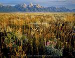 GRAND TETON NATIONAL PARK, WYOMING. USA. Lupine, grasses, and sagebrush below the Teton Range. Jackson Hole.