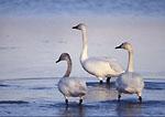 BEAR RIVER MIGRATORY BIRD REFUGE, UTAH. USA. Tundra swans. Bear River Delta near Great Salt Lake.