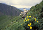 DENALI NATIONAL PARK & PRESERVE, ALASKA. USA. Cinquefoil & Dall sheep. Sable Mountain.
